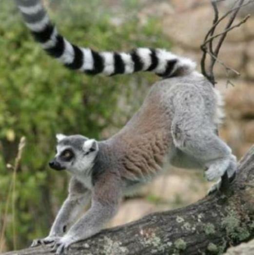Lemur - Singe de aladin ...